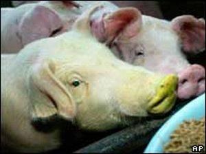 Тайваньские ученые вывели флуоресцентных свиней