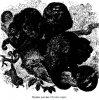 Семейство широконосых, или обезьян Нового Света (Platyrrhini). Ревуны.