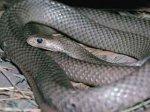 В ростовских зоомагазинах большой спрос на символ нового года змей
