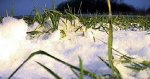 Заморозки в Краснодарском крае не повлияют на состояние озимых