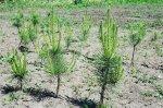 Донские лесники высадят 5,5 миллиона молодых деревьев