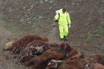 Падеж скота в одном из фермерских хозяйств Белокалитвинского района