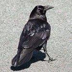 В Волгограде ворона недавала детсадовцам спокойно гулять