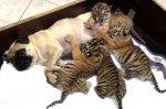 В Сочи мопсы стали приемными мамами тигрят