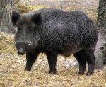 В Алексеевском районе Волгоградской области выявлен вирус африканской чумы свиней