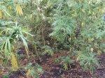 """В ходе оперативно-профилактической операции """"Мак""""  проводится уничтожение выявленных очагов наркосодержащих растений"""