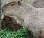 В краснодарском зоопарке впервые за всю его историю, родились детеныши капибаров