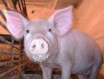 В Октябрьском районе уничтожили 414 свиней