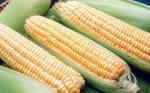 В Тимашевском районе Краснодара полицейские задержали грузовик с 2,5 тонами краденой кукурузы