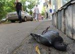 В нескольких районах Кубани начался массовый мор голубей