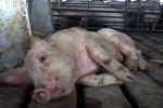 В Цимлянском районе Ростовской области объявлен режим ЧС из-за африканской чумы свиней
