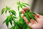 Полиция Краснодара задержала, мужчину выращивавшего марихуану в горшках