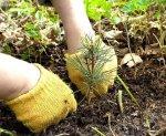 В Ростовской области высадят пять с половиной миллионов сосен и акаций