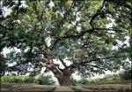 В Дубовском районе Волгограда спасают уникальный  400-летний дуб