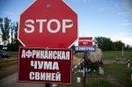 В Волгоградской области сняли карантин по африканской чуме свиней