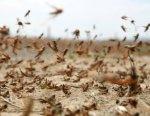 В Лиманском районе Астраханской области введен режим ЧС из-за саранчи