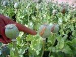В Новокубанском районе полицейские уничтожили большое поле опиумного мака