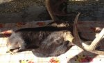 Житель Волгоградской области в компании приятелей-москвичей хладнокровно застрелил лося