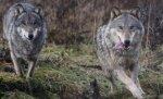 Село в Волгоградской области терроризирует волчья стая