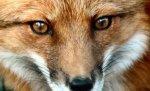 Жителям Волгоградской области угрожают бешеные лисицы