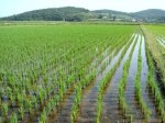 Кубани в 2015 году по силам собрать миллион тонн риса