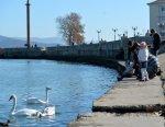 На Черноморское побережье Кубани прилетели на зимовку лебеди