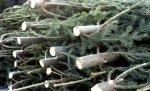 Новогодней хвоей Волгоград и Волжский обеспечивают семь женщин-дровосеков