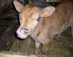В донском хуторе планируют ввести карантин из-за бешеного бычка