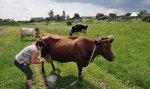 Учхоз «Краснодарское» планирует заняться переработкой молока
