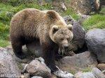 В Сочи прокуратура стала на защиту бурых медведей