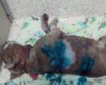 В Шахтах ветеринары спасают изрезанную ножами породистую собаку