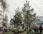Около ростовской консерватории высадили семиметровые сосны