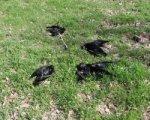 В Таганроге стая ворон попала в облако удобрений, погибло 211 птиц