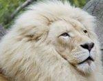 В ростовском зоопарке поселился белый лев Том