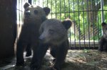 Как живется медвежатам в Белокалитвинском зоопарке