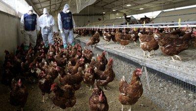 В Британии произошла вспышка птичьего гриппа