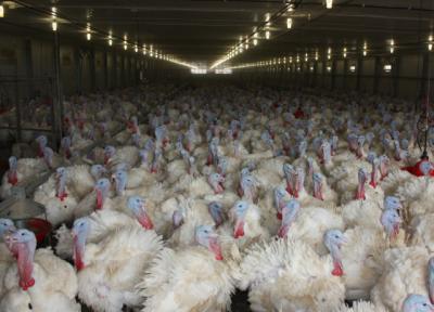 Из-за птичьего гриппа на «Евродоне» уничтожают индейку, вызывающую подозрения