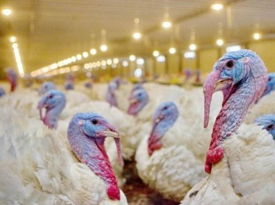 На двух площадках «Евродона» уничтожили поголовье птиц с подозрением на птичий грипп