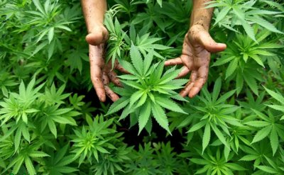 В Белокалитвинско районе полицейские задержали мужчину с марихуаной