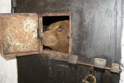 У медведицы в Белокалитвинском зоопарке родилась тройня!