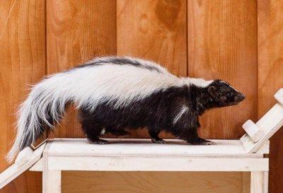 Скунсы, которые не пахнут, прибыли в Ростовский зоопарк из Лимпопо