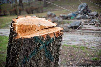В Белокалитвинском районе было незаконно спилено около 20 деревьев