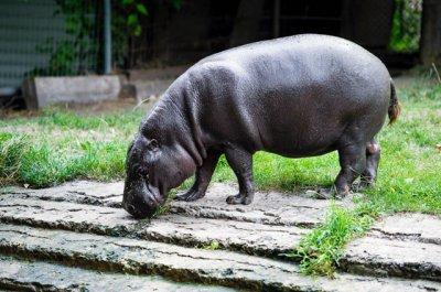 Карликовый бегемот Риф сегодня празднует 45-летие в Ростовском зоопарке