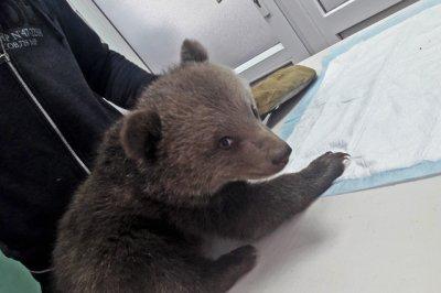 Два бурых медвежонка получили «документы» в Ростовской области