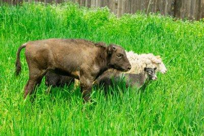В ростовском зоопарке организовали «детский сад» для зубра и козлят