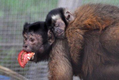 В ростовском зоопарке посетителям покажут семью обезьян-капуцинов