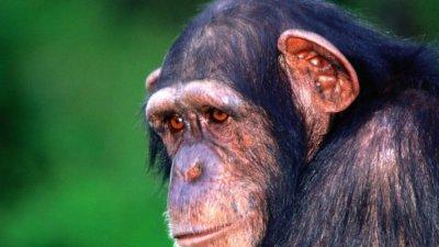 Болезнь Альцгеймера обнаружили у шимпанзе