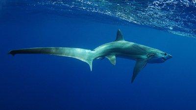 В районе Антальи рыбаки поймали пятиметровую акулу