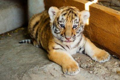 Тигры Устин и Прима из ростовского зоопарка стали родителями