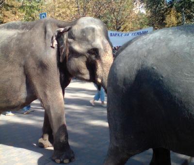 По центральным улицам Ростова выгуливают четырех слонов